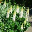 Lupina mnoholistá 'Lupini White' - Lupinus polyphyllus 'Lupini White'