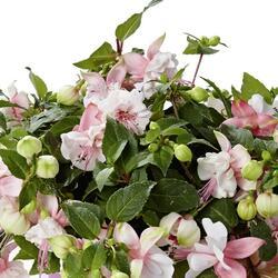 Čílko, fuchsie 'Fuchsini Double Pink White' - Fuchsia hybrida 'Fuchsini Double Pink White'