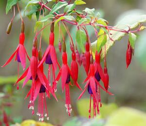Čílko, fuchsie 'Riccartonii' - Fuchsia magellanica 'Riccartonii'