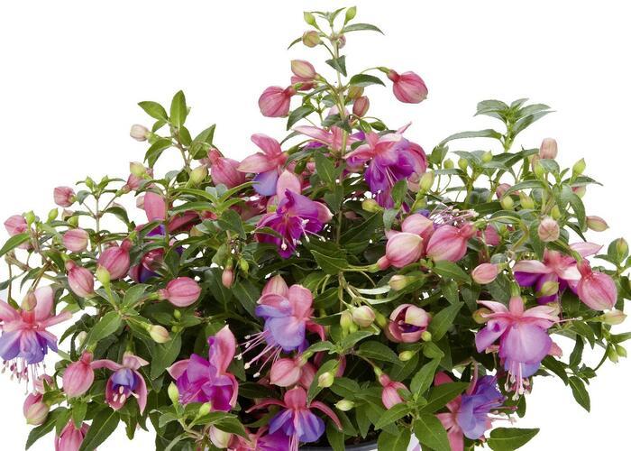 Čílko, fuchsie 'Fuchsini Double Rose Blue' - Fuchsia hybrida 'Fuchsini Double Rose Blue'