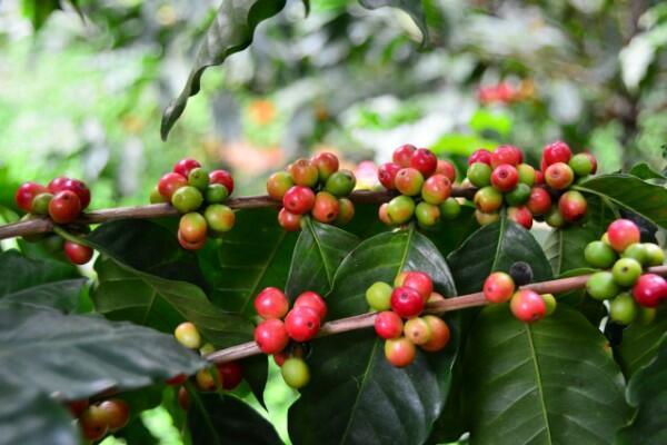 Kávovník arabský 'Tequero' - Coffea arabica 'Tequero'