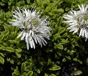 Koulenka 'Alba' - Globularia cordifolia 'Alba'