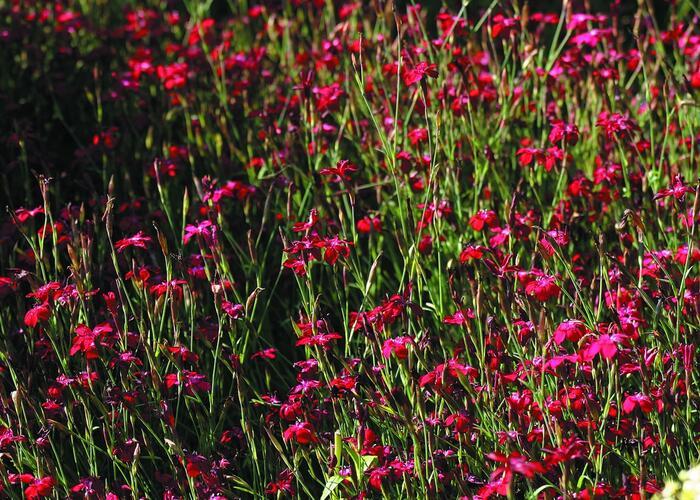 Hvozdík kropenatý 'Erectus' - Dianthus deltoides 'Erectus'