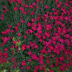Hvozdík kropenatý 'Brilliant' - Dianthus deltoides 'Brilliant'