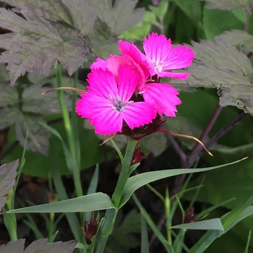 Hvozdík kartouzek - Dianthus carthusianorum