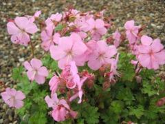 Kakost 'Bressingham Pink' - Geranium dalmaticum 'Bressingham Pink'