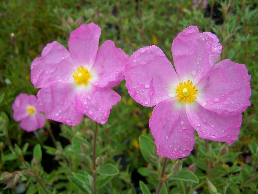 Cist 'Golden Treasure' - Cistus 'Golden Treasure'