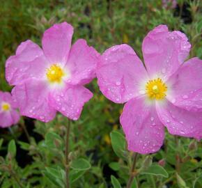 Cist, skalní růže 'Golden Treasure' - Cistus 'Golden Treasure'