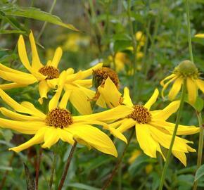 Slunečnice 'Monarch' - Helianthus atrorubens 'Monarch'