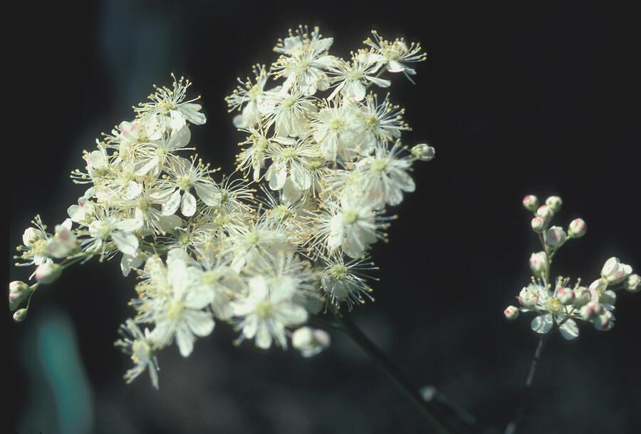 Tužebník obecný - Filipendula vulgaris
