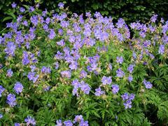 Kakost luční 'Mrs Kendall Clark' - Geranium pratensis 'Mrs Kendall Clark'