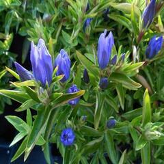 Hořec 'True Blue' - Gentiana 'True Blue'