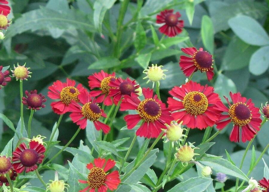 Záplevák podzimní 'Ruby Tuesday' - Helenium 'Ruby Tuesday'