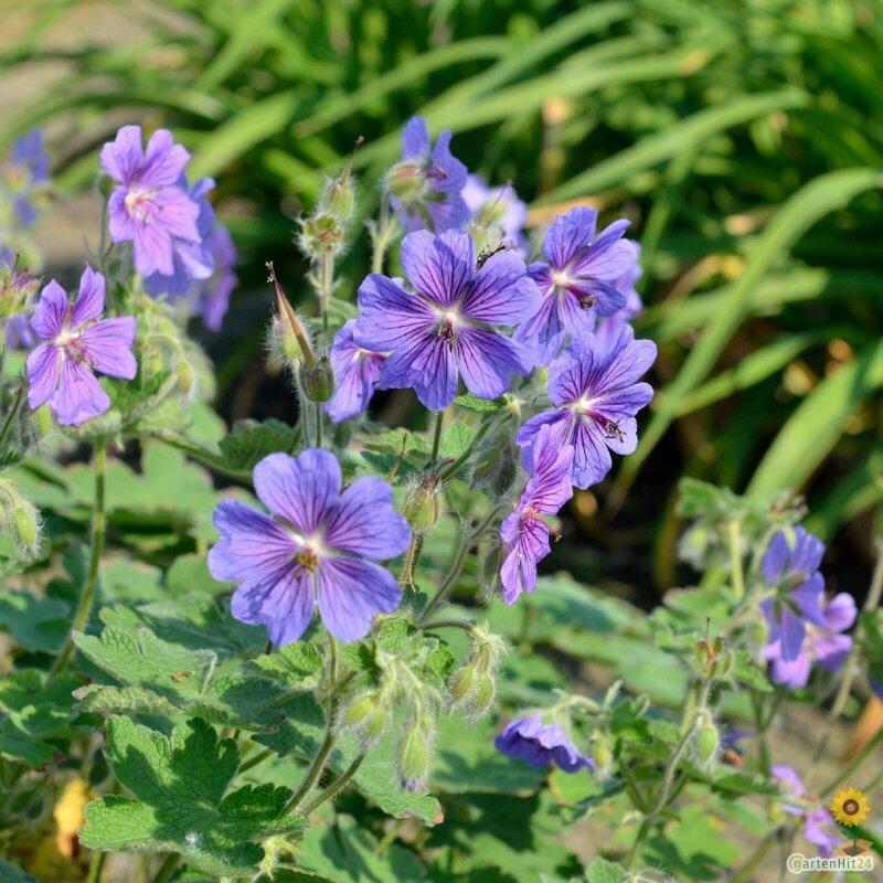 Kakost Renardův 'Terre Franche' - Geranium renardii 'Terre Franche'