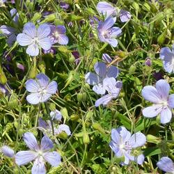 Kakost 'Blue Cloud' - Geranium collinum 'Blue Cloud'