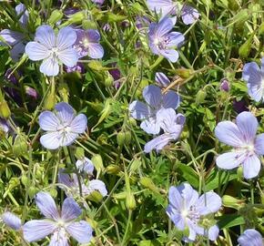 Kakost 'Blue Cloud' - Geranium collinum 'Blue Cloud'
