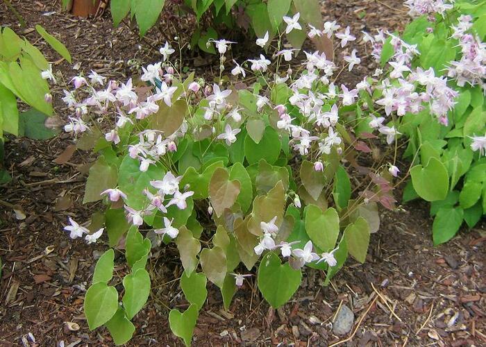 Škornice dvoulistá - Epimedium diphyllum ssp.kitamaranum