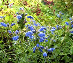 Včelník  'Fuji Blue' - Dracocephalum argunense 'Fuji Blue'