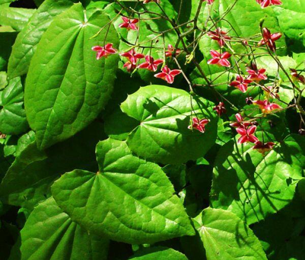 Škornice - Epimedium cantabrigiense