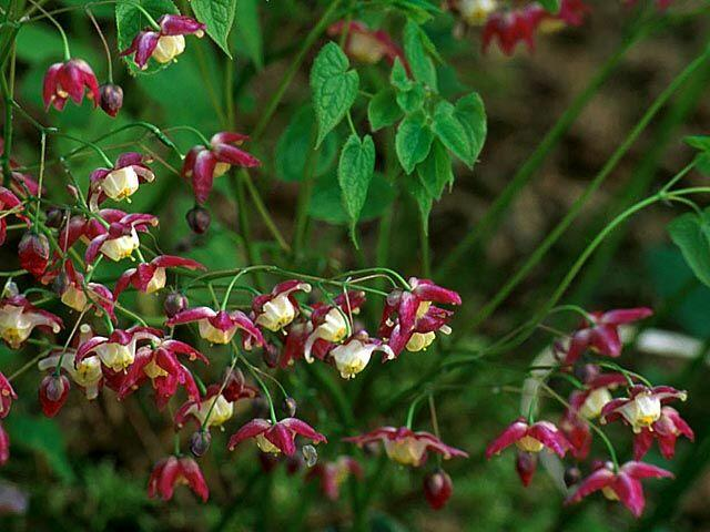 Škornice alpská - Epimedium alpinum