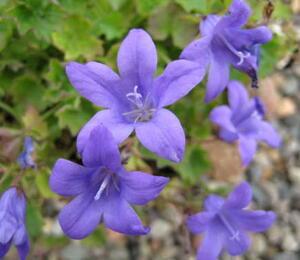 Zvonek Poscharkův 'Blue Gown' - Campanula poscharskyana 'Blue Gown'