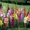 Mečík - Gladiolus mix