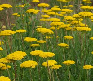 Řebříček tužebníkovitý 'Cloth of Gold' - Achillea filipendulina 'Cloth of Gold'