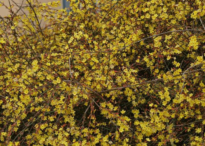 Jasmín nahokvětý - Jasminum nudiflorum