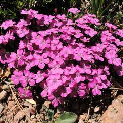 Hvozdík bulharský - Dianthus microlepis