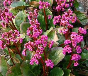 Bergénie srdčitá 'Eroica' - Bergenia cordifolia 'Eroica'
