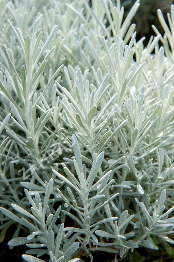 Smil 'Silverball' - Helichrysum stoechas 'Silverball'