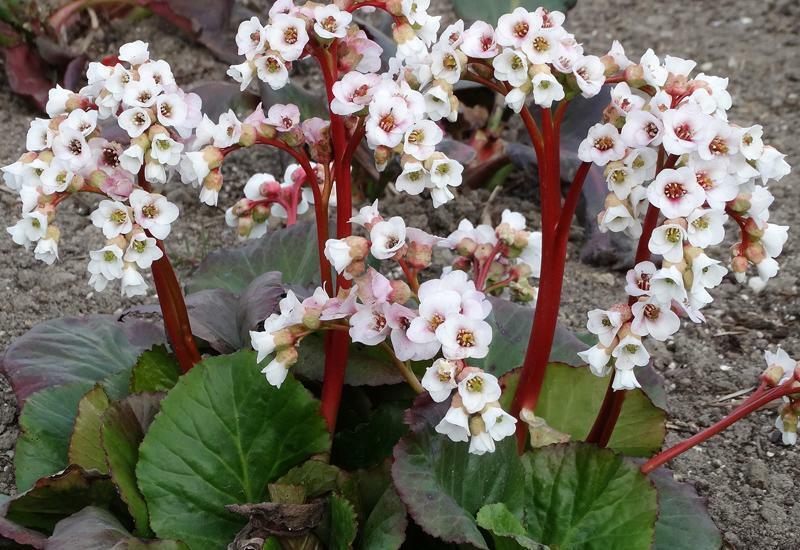 Bergénie srdčitá 'Bach' - Bergenia cordifolia 'Bach'