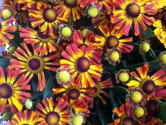 Záplevák podzimní 'Betty' - Helenium 'Betty'