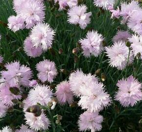 Hvozdík péřitý 'Mrs Sinkins' - Dianthus plumarius 'Mrs Sinkins'