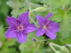Kakost - Geranium wlassovianum