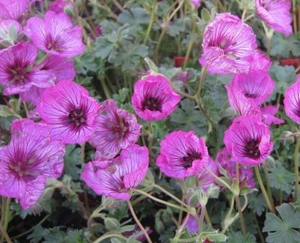 Kakost sivý 'Carol' - Geranium cinereum 'Carol'