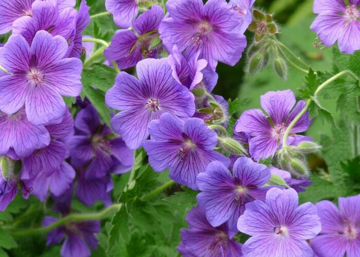 Kakost 'Kashmir Purple' - Geranium clarkei 'Kashmir Purple'