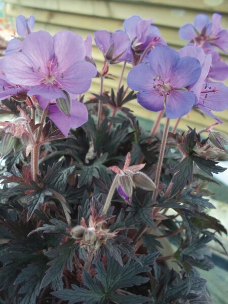 Kakost luční 'Hocus Pocus' - Geranium pratense 'Hocus Pocus'