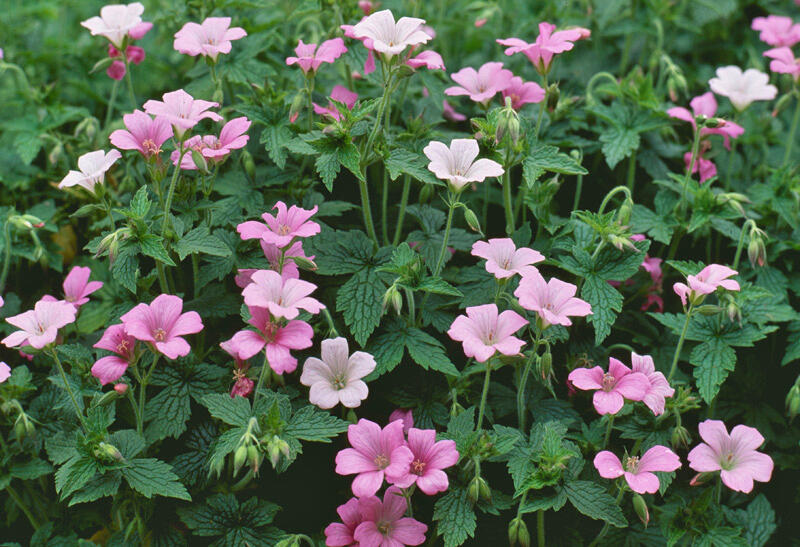 Kakost Endressův 'Shadow Pink' - Geranium endressii 'Shadow Pink'