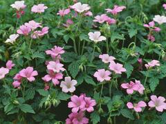Kakost Endressův 'Shadow Pink' - Geranium endressii 'Shadow Pink'
