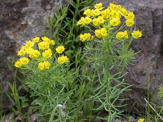 Pryšec chvojka - Euphorbia cyparissias