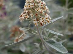 Motýlí keř, komule 'Silver Anniversary' - Buddleia 'Silver Anniversary'