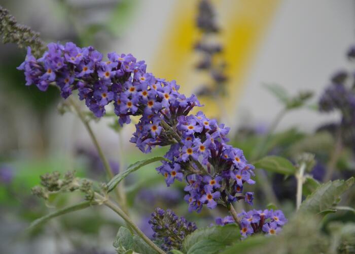 Motýlí keř, Komule Davidova 'Blue Heaven' ( Free Petite®) - Buddleia davidii 'Blue Heaven' ( Free Petite®)