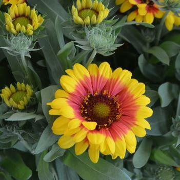 Kokarda osinatá 'Sunrita Yellow Red Ring' - Gaillardia aristata 'Sunrita Yellow Red Ring'
