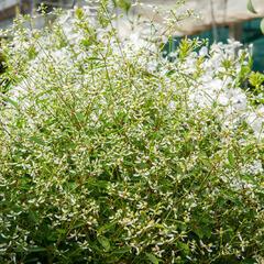 Pryšec třezalkovitý 'Silver Fog' - Euphorbia hypericifolia 'Silver Fog'