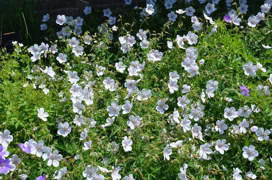 Kakost 'Kashmir White' - Geranium clarkei 'Kashmir White'