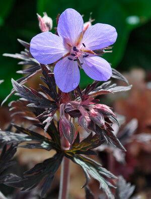 Kakost luční 'Dark Reiter' - Geranium pratense 'Dark Reiter'