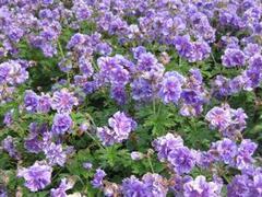 Kakost himalájský 'Plenum' - Geranium himalayense 'Plenum'
