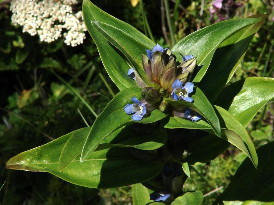 Hořec křížatý - Gentiana cruciata