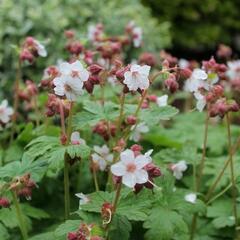 Kakost oddenkatý 'Spessart' - Geranium macrorrhizum 'Spessart'